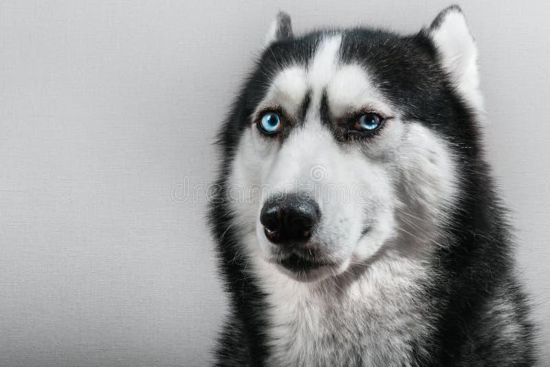 Hund des sibirischen Huskys mit den gepressten Ohren lokalisiert auf Grau Verwirrter lustiger Schlittenhund des Porträts mit blau lizenzfreies stockbild