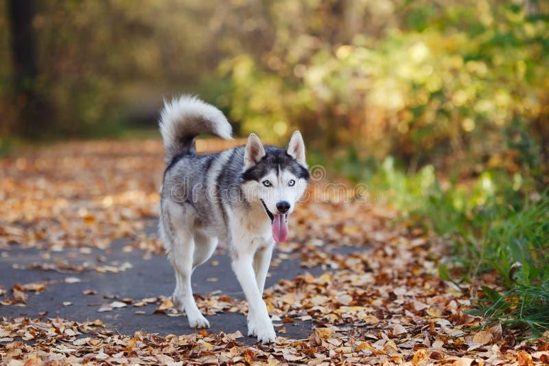 Hund des sibirischen Huskys mit gehendem Herbst der blauen Augen parken stockfotografie