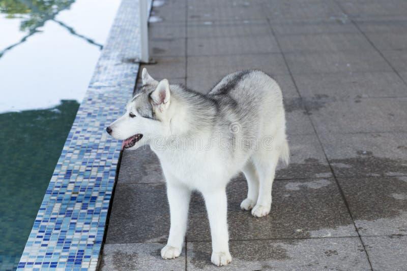 Hund des sibirischen Schlittenhunds stockfotos