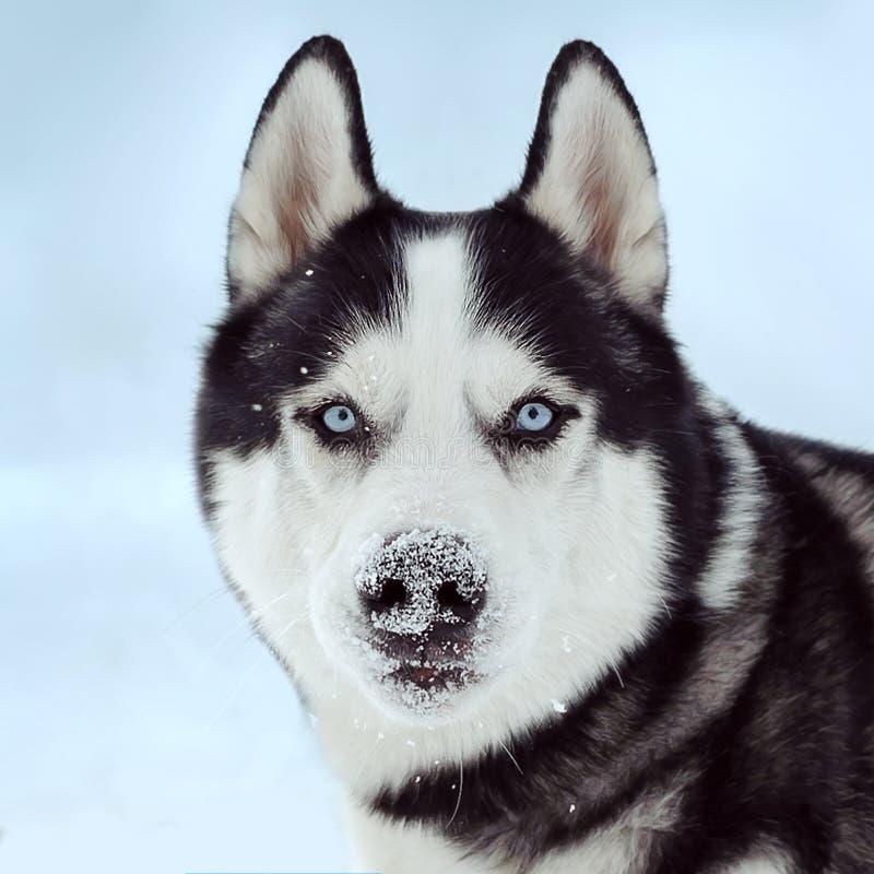Hund des sibirischen Schlittenhunds lizenzfreies stockbild