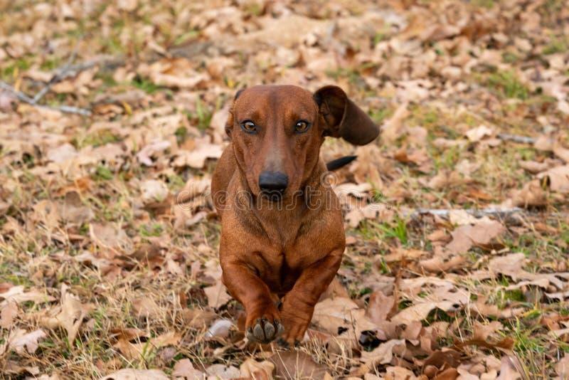 Hund des Wiener Würstchens/des Dachshunds, der durch die Blätter auf einem kalten Herbstmorgen läuft lizenzfreie stockfotografie