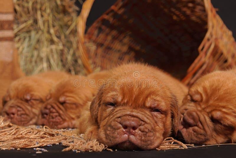 Hund Doguede Bordeaux lizenzfreie stockbilder