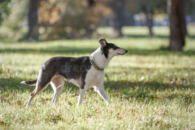 Hund in einem Kragen, der auf dem Gras im Herbst Park läuft Die Zucht ist ein glatt-überzogener Collie lizenzfreie stockbilder
