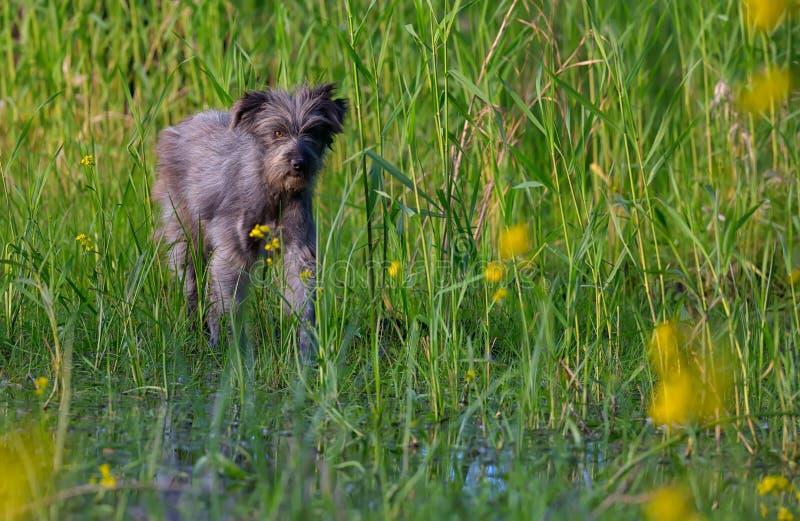 Hund in einem Sumpf stockfoto