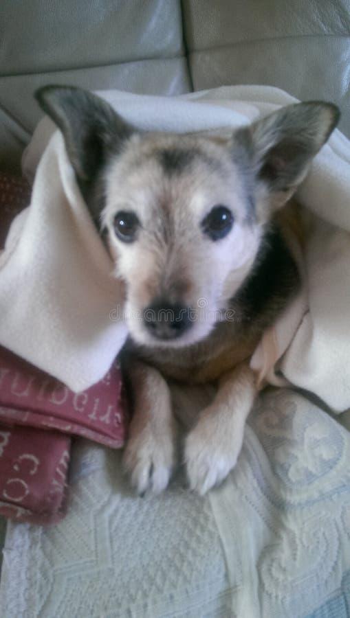 Hund in einer Decke stockbilder