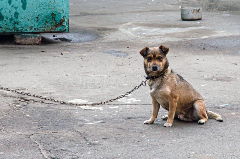 Hund an einer Kette in Bewegung Mongrel schützt das Haus und bellt lizenzfreies stockbild