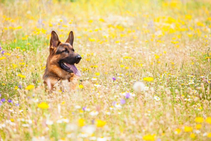 Hund in einer Wiese stockfotografie