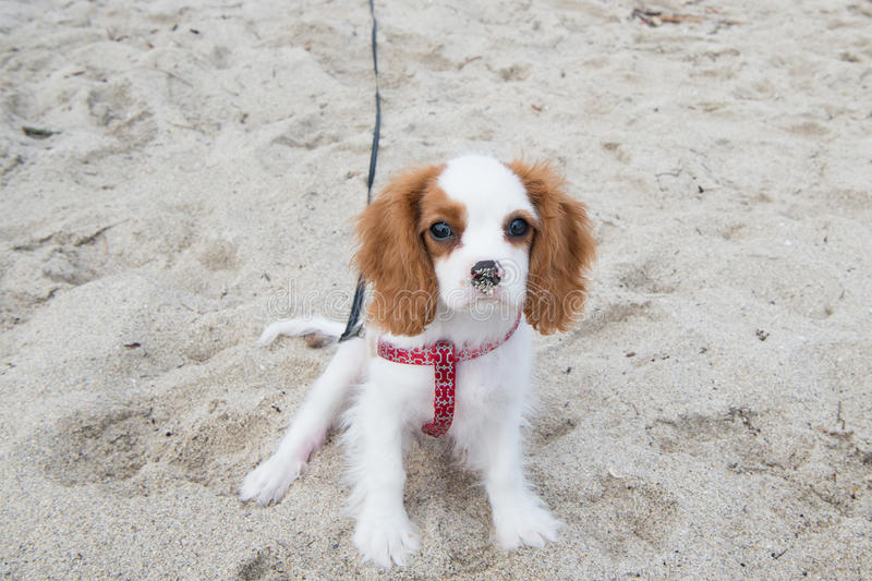 Hund eller stolt spanielvalp för konung charles royaltyfri fotografi