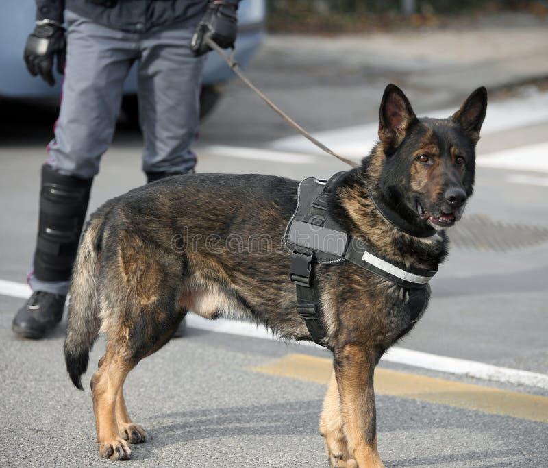 Hund- enhet för hund av polisen och en polis royaltyfri fotografi