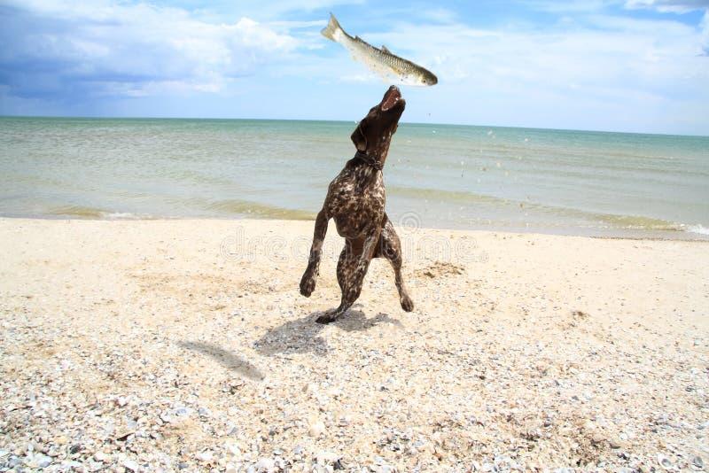 Hund fängt einen Fisch ab stockfotografie