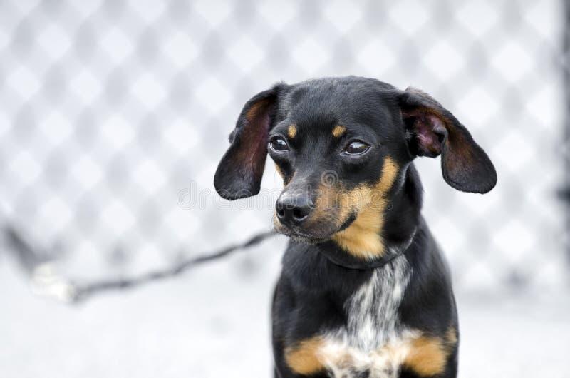 Hund för avel för Chiweenie Chihuahuatax blandad royaltyfri bild
