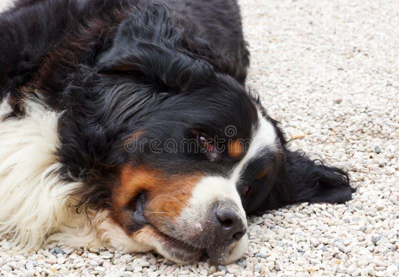 Hund för Bernese berg royaltyfria foton