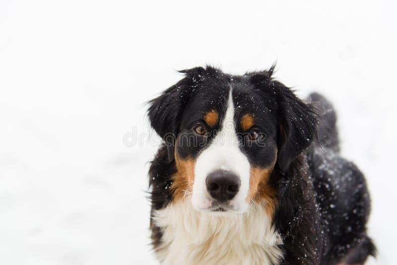 Hund för Bernese berg i snön arkivbild