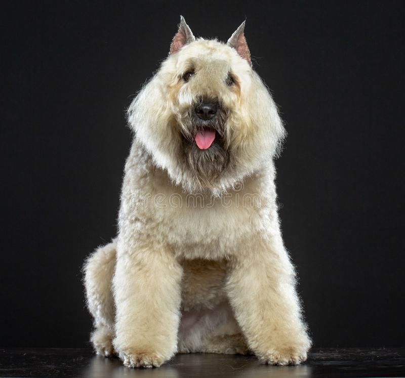 Hund för Bouvier des som Flandres isoleras på svart bakgrund arkivbild