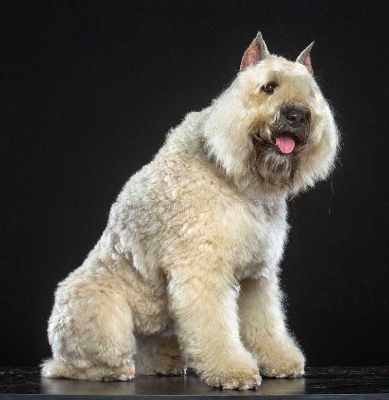 Hund för Bouvier des som Flandres isoleras på svart bakgrund arkivfoto