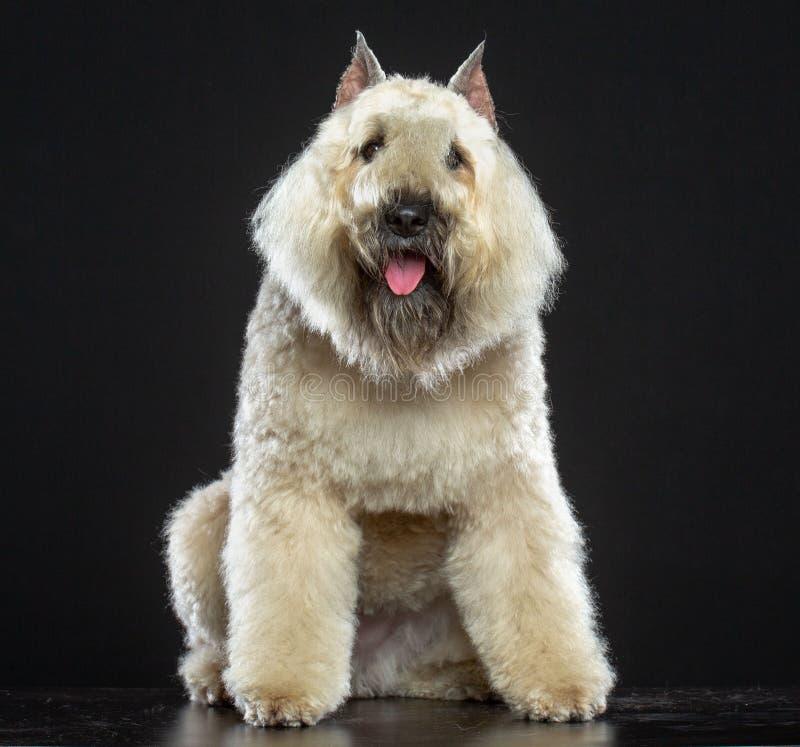 Hund för Bouvier des som Flandres isoleras på svart bakgrund arkivbilder