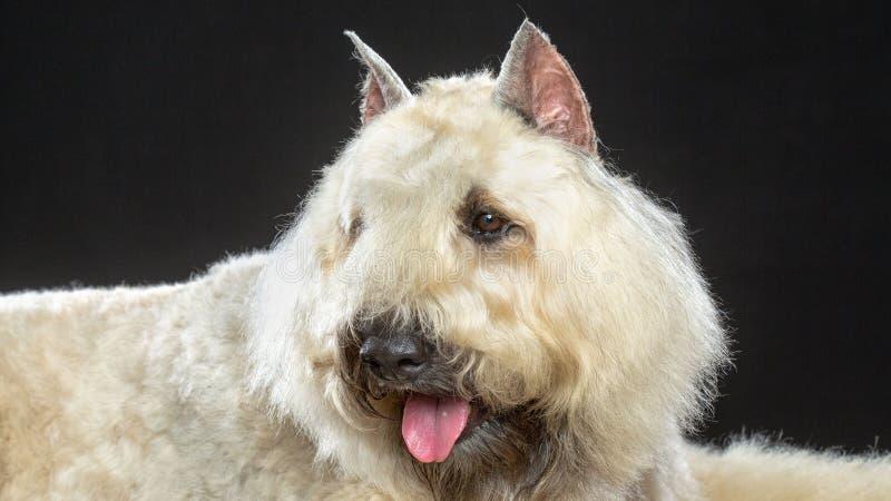 Hund för Bouvier des som Flandres isoleras på svart bakgrund royaltyfria bilder