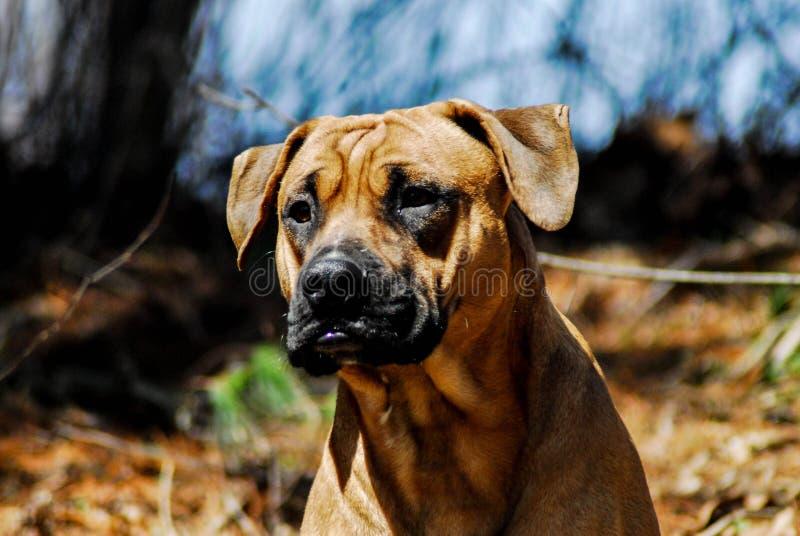 Hund för Bullador valpbrunt med den svarta tonen arkivfoton