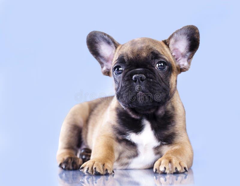 Hund för fransk bulldogg arkivfoton