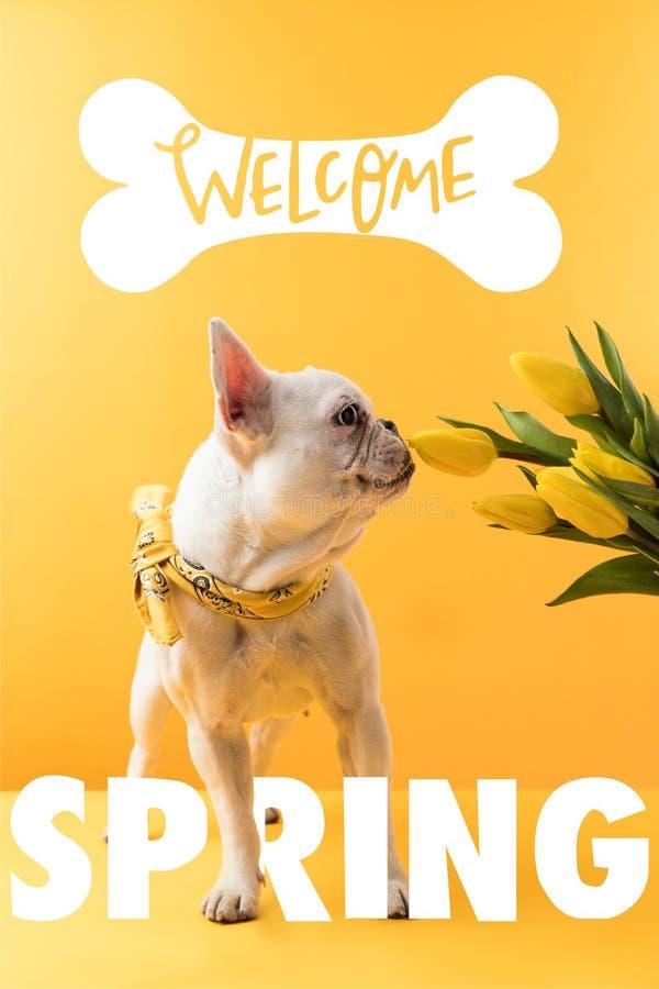 hund för fransk bulldogg och gula tulpan med VÄLKOMNANDE royaltyfri bild