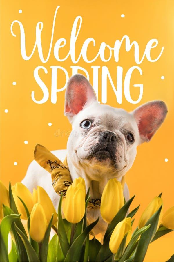 hund för fransk bulldogg och härliga gula tulpan med VÄLKOMNANDE royaltyfri foto