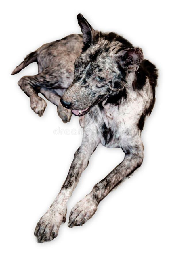 Hund för gata för spetälskahud sjuk - hund för rabiesinfektionrisk på vit bakgrund royaltyfri bild