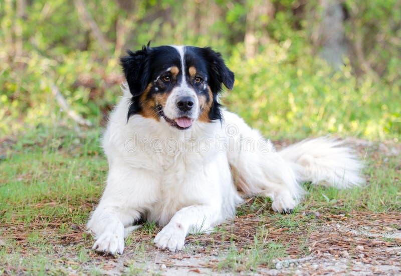 Hund för gränsCollie Australian Shepherd blandad avel royaltyfri foto