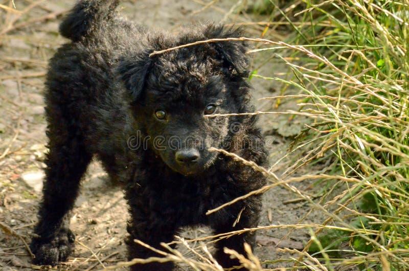 Hund för herde för valp för svart hund kroatisk royaltyfri bild