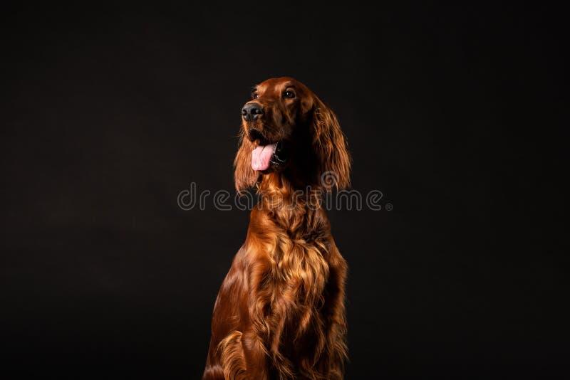 Hund för irländsk setter som isoleras på svart bakgrund royaltyfri foto