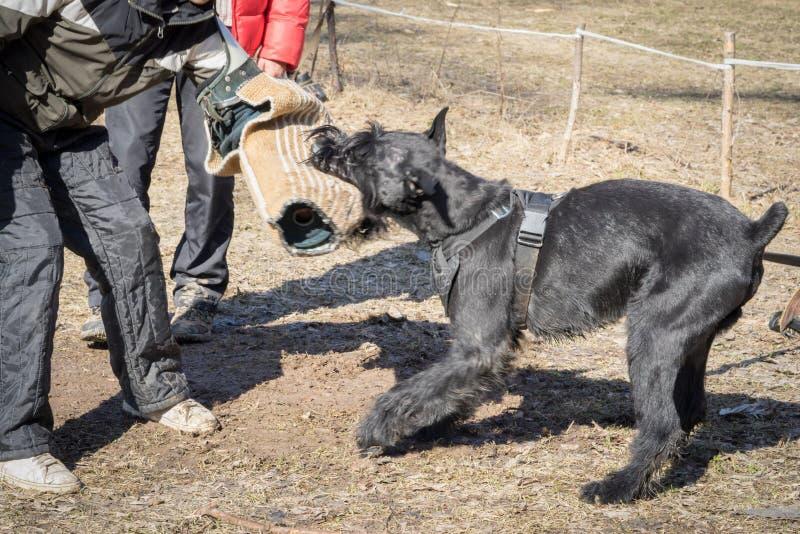 Hund för jätte- Schnauzer arkivfoto