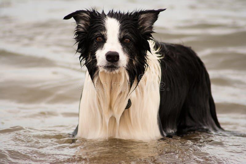 Hund för kantcollie i havet arkivbilder