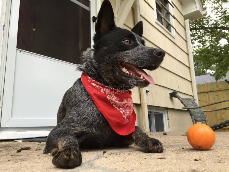 Hund för nötkreatur för blå Heeler hundkapplöpning australisk arkivbilder