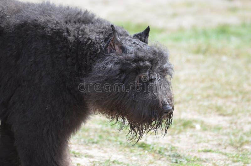 Hund för nötkreatur för Bouviers des Flanders arkivbilder