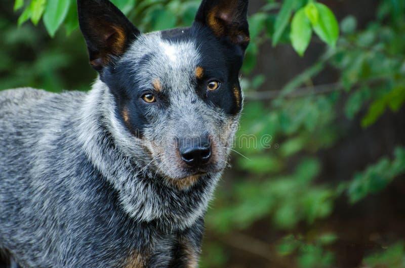 Hund för Queensland blåttHeeler nötkreatur arkivfoton