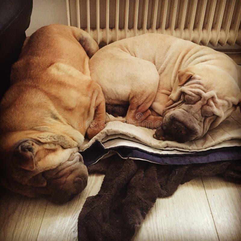 Hund för Sharpei sharpeishundkapplöpning som sover sömnvalpvalpar arkivbild