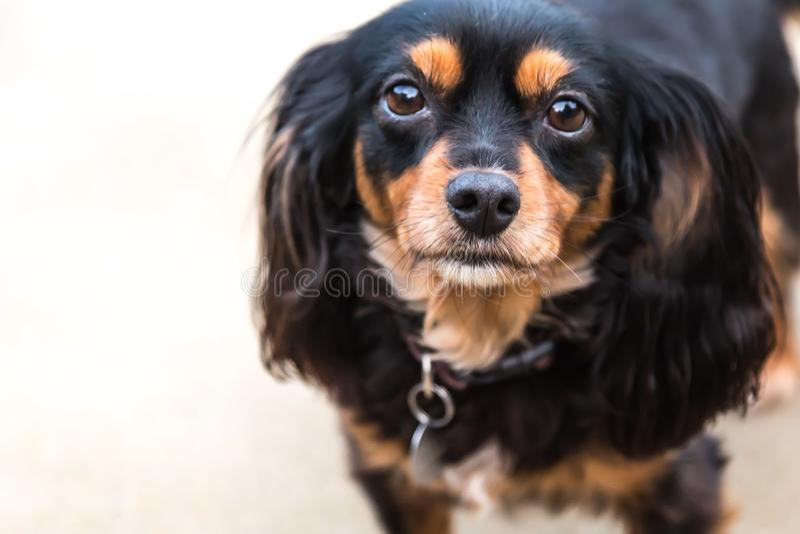 Hund för silkeslen terrier för konung Charles Cavalier Spaniel arg royaltyfri foto