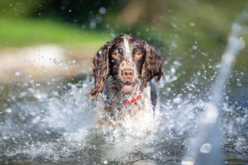 Hund för spaniel för engelsk Springer som spelar i vatten arkivbild