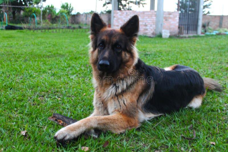 Hund för tysk herde i en lantgård royaltyfri fotografi