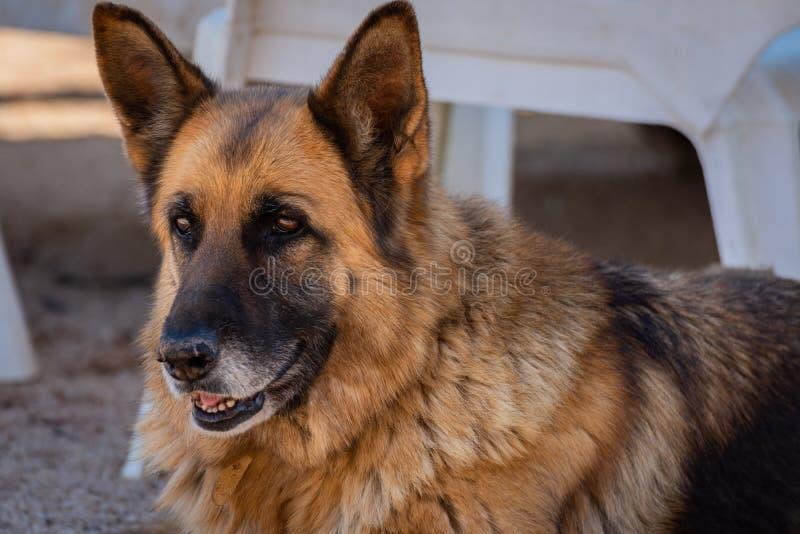 Hund för tysk herde i fältet retro st?ende royaltyfria foton
