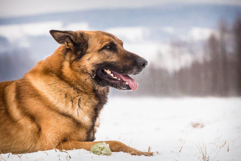 Hund för tysk herde med en tennisboll arkivfoton