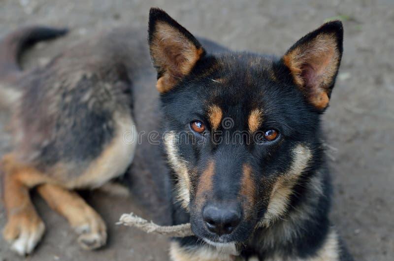 Hund för tysk herde med ledsna ögon royaltyfria foton