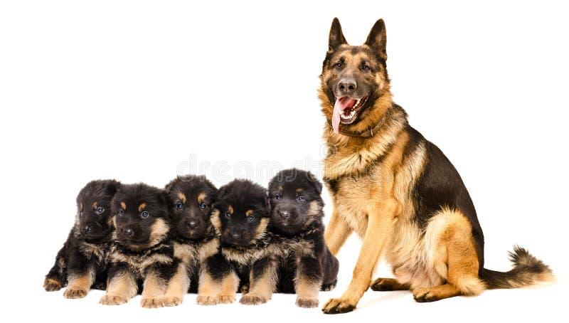 Hund för tysk herde med valpar fotografering för bildbyråer