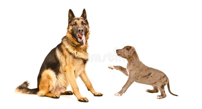 Hund för tysk herde och en valp för groptjur royaltyfri bild
