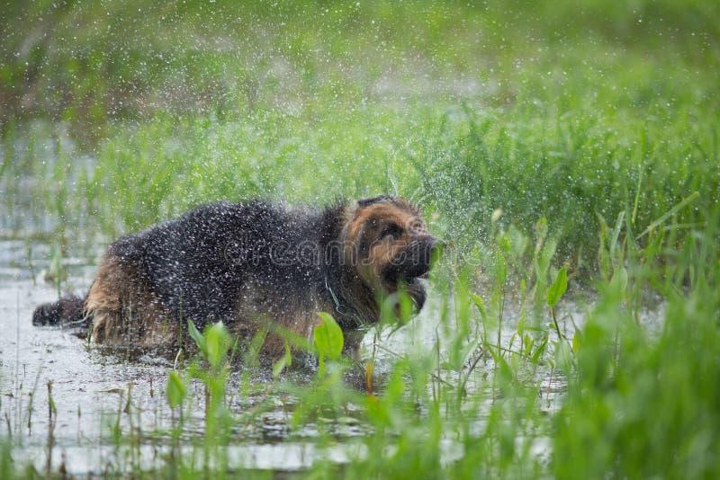 Hund för tysk herde som skakar av vatten i sjön arkivfoton