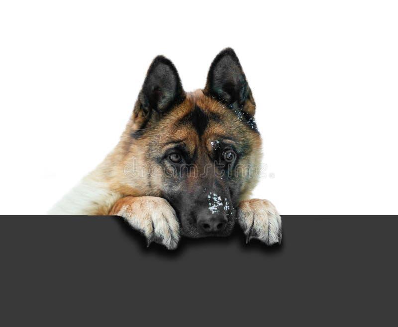 Hund för tysk herde som ut kikar till och med det gråa staketet Tysta ned G royaltyfria foton
