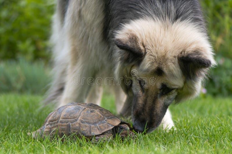 Hund för tysk herde som utforskar sköldpaddan royaltyfria bilder