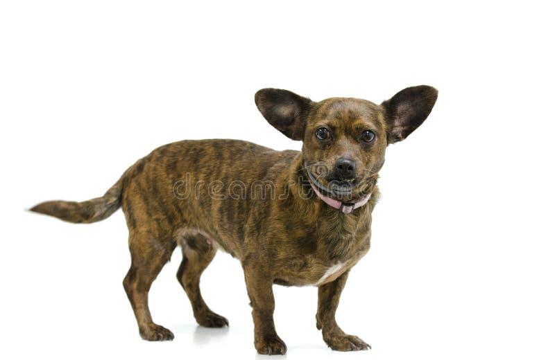 Hund för valp för Chiweenie Chihuahuatax arkivbild