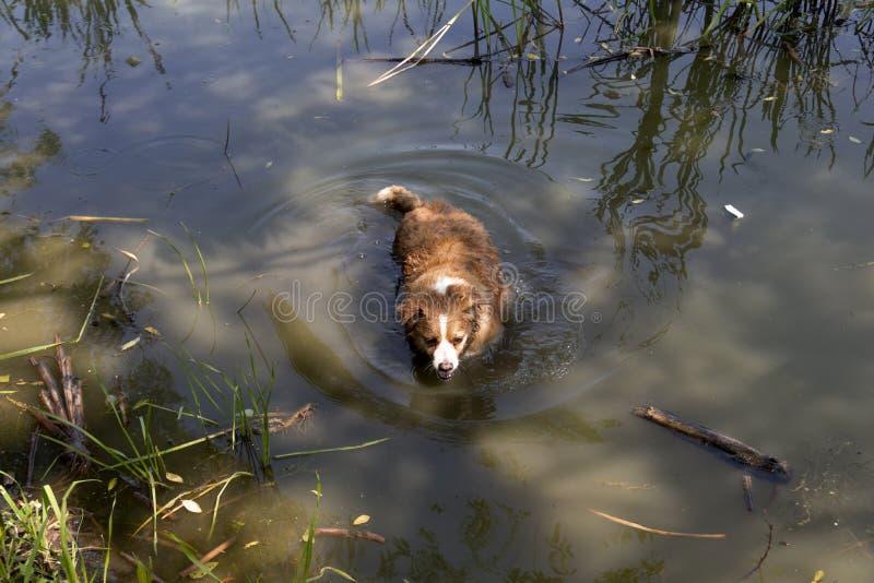 Hund genießt das kalte Wasser des Sees an einem heißen Sommertag lizenzfreies stockfoto