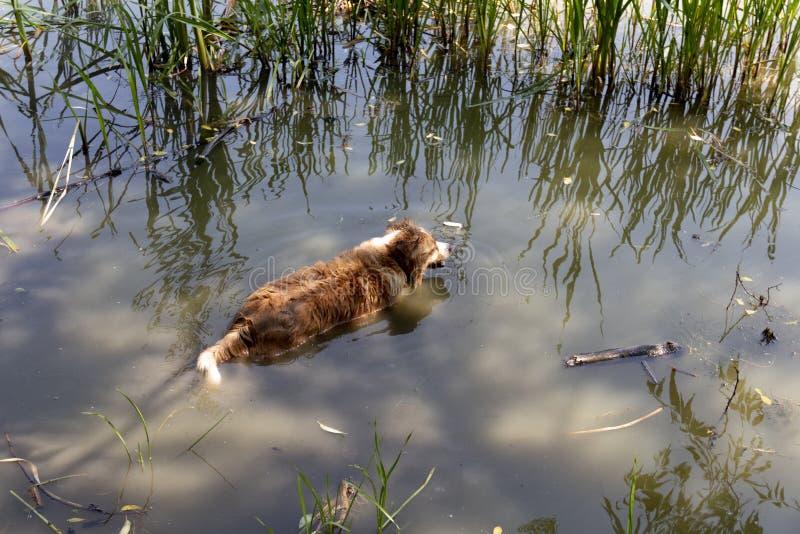 Hund genießt das kalte Wasser des Sees an einem heißen Sommertag stockbild