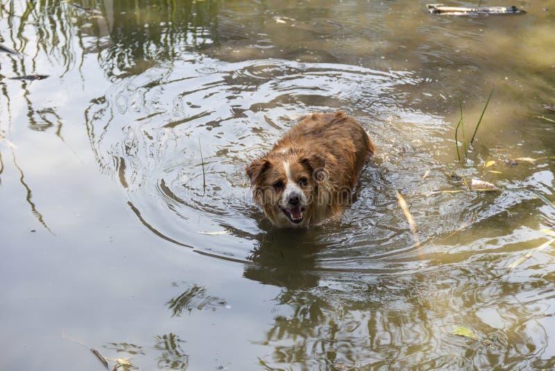 Hund genießt das kalte Wasser des Sees an einem heißen Sommertag lizenzfreies stockbild